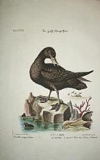 Pétrel - Hydrobates pelagicus - Seligmann 1749