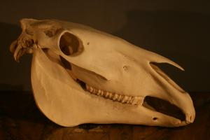 Educational study of a horse skull