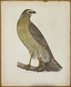 Serie von sechs Greifvogelabdrücken. Alexander Wilson. Philadelphia 1871. Porter