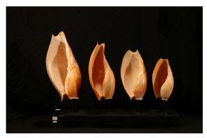 Quattro conchiglie su base di legno, Golfo di Guinea