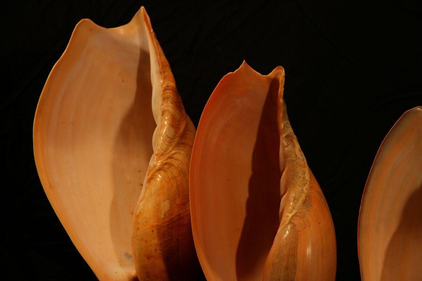 thumb2|Quattro conchiglie su base di legno, Golfo di Guinea