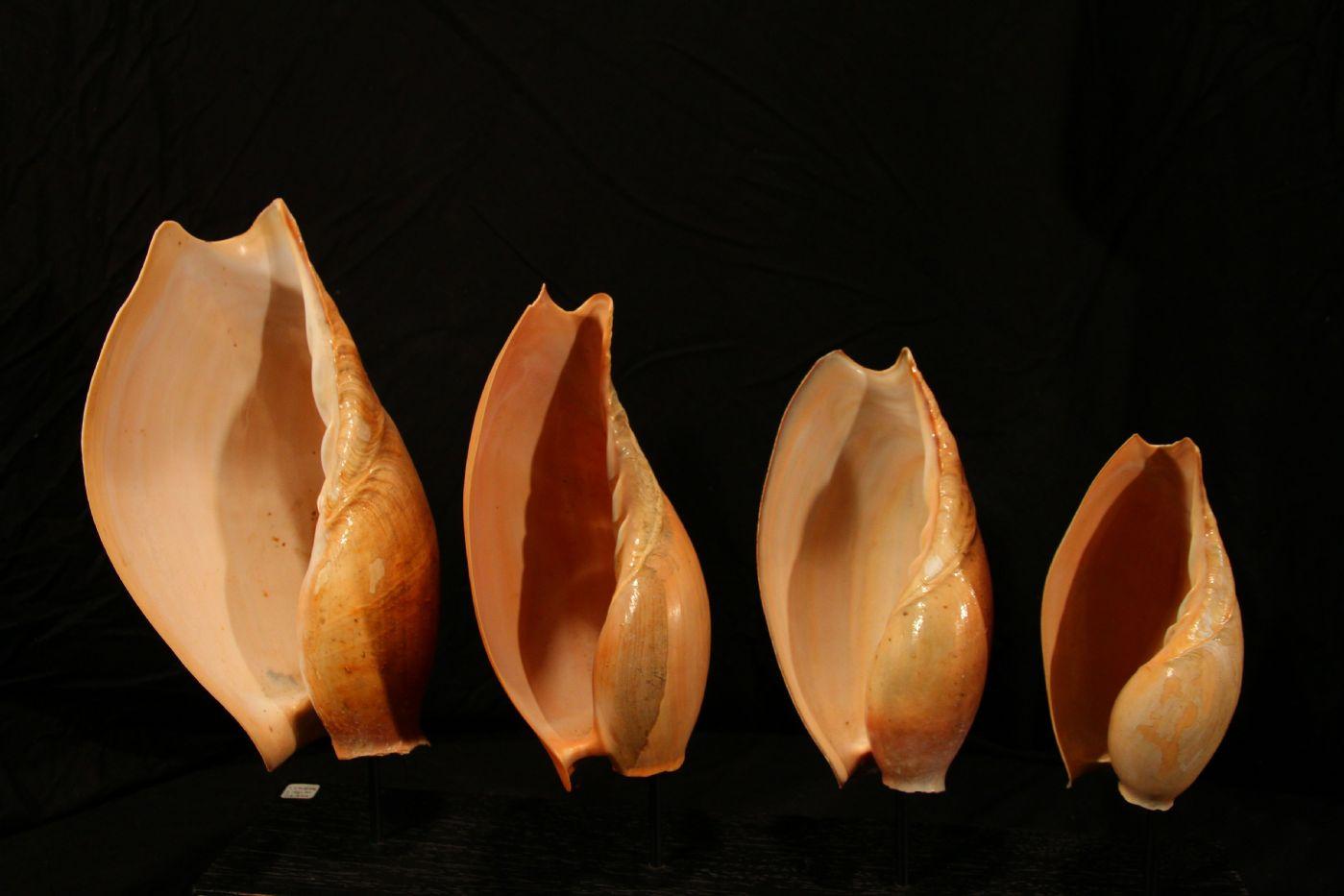 thumb3|Quattro conchiglie su base di legno, Golfo di Guinea
