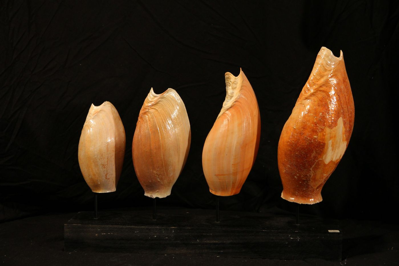 thumb4|Quattro conchiglie su base di legno, Golfo di Guinea