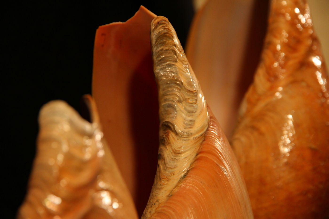 thumb5|Quattro conchiglie su base di legno, Golfo di Guinea