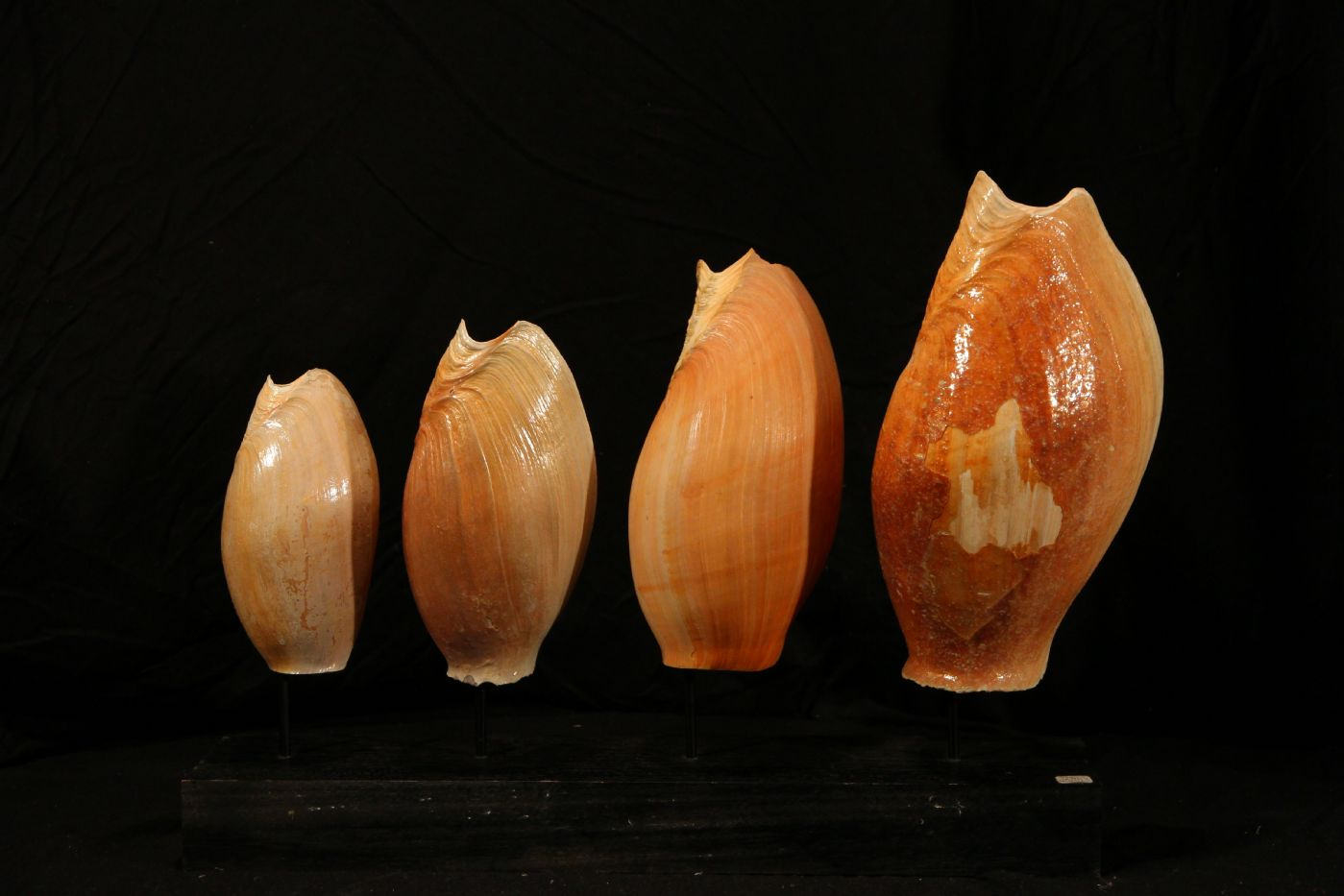 thumb6|Quattro conchiglie su base di legno, Golfo di Guinea