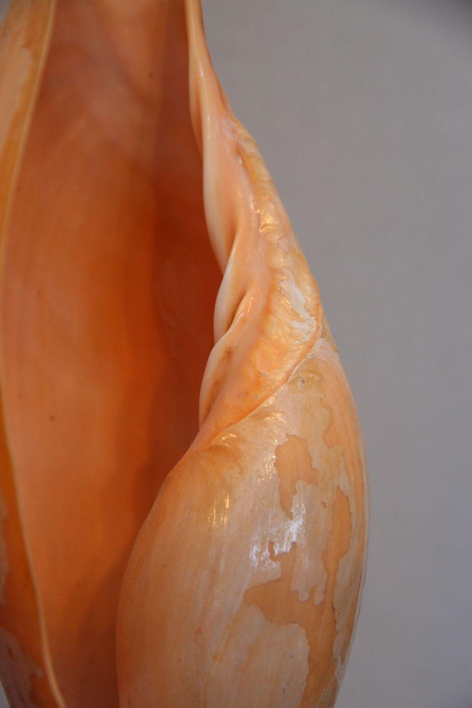 thumb9|Quattro conchiglie su base di legno, Golfo di Guinea