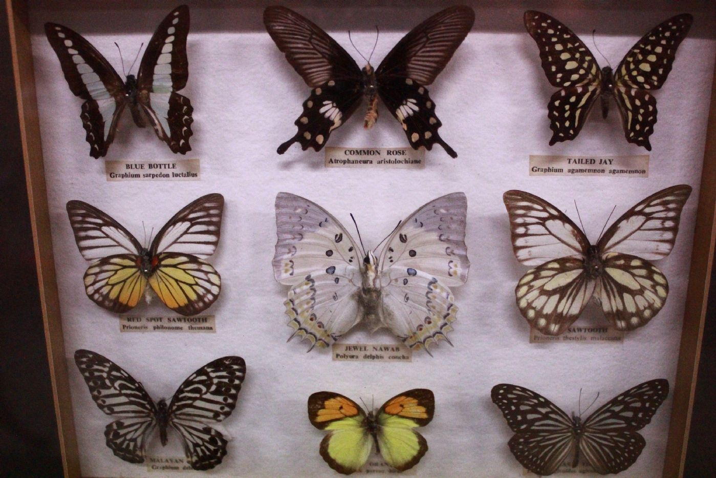 9 en vitrina Colección de la mariposa con el cristal y el marco con ...