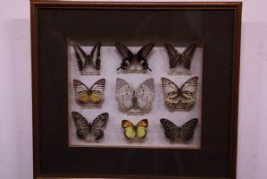 Collection of 9 butterflies in glass case and frame with butterflies captions